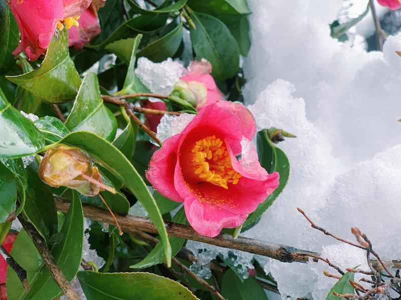 ツバキの花言葉は怖い?意味や由来・誕生花の日付がいつなのか・見頃の季節まとめ