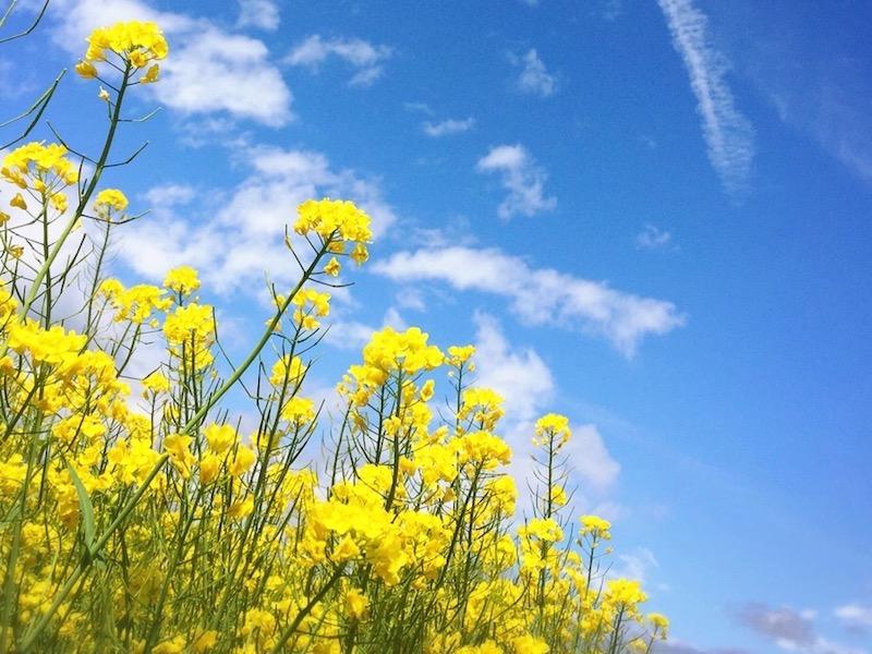 菜の花(ナノハナ)の花言葉は?意味や由来・誕生花の日付がいつなのか・見頃の季節まとめ