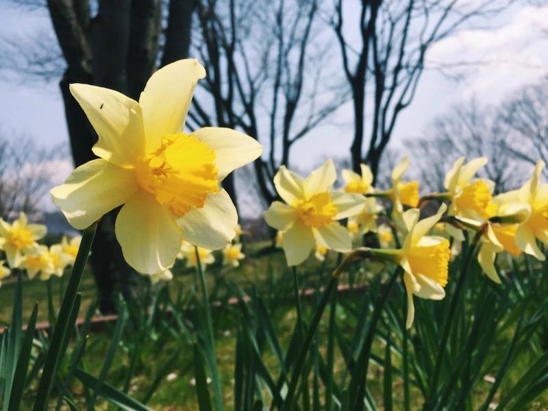 スイセンの花言葉は怖い?意味や由来・誕生花の日付がいつなのか・見頃の季節まとめ